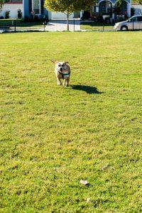 Dog playing in Wright Dog Park, Savannah Texas