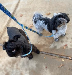 Dog being walked in Savannah Texas by Dog Walkers