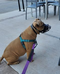 American Staffordshire Terrier with Muzzle