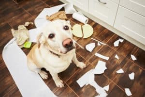 Dog has caused destruction due to anxiety